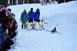 Penguin Parade in Asahiyama Zoo